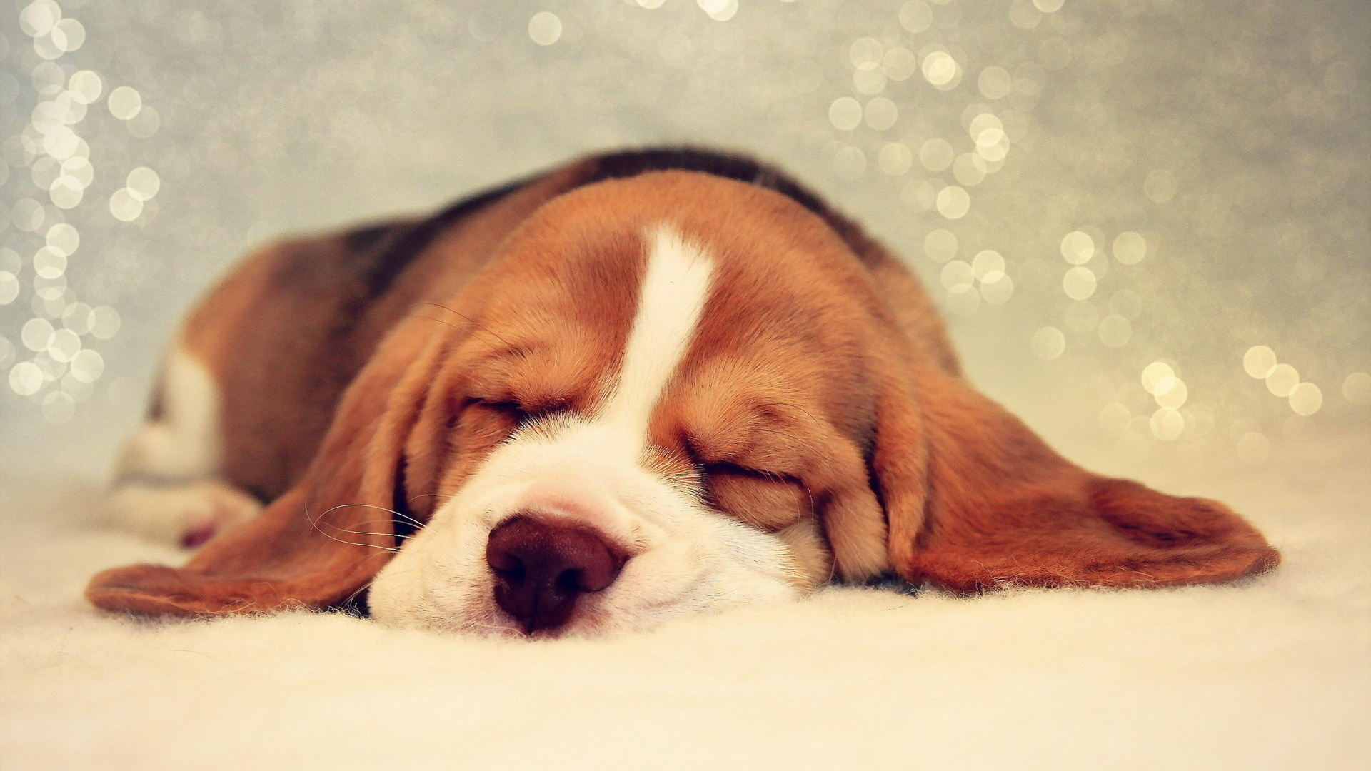 Animals-Dogs-A-Basset-Hound-is-looking-tenth-dream-049546-